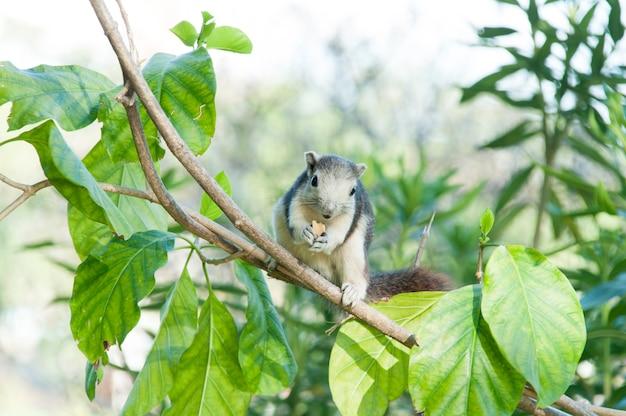 Esquilo comendo comida na árvore no parque