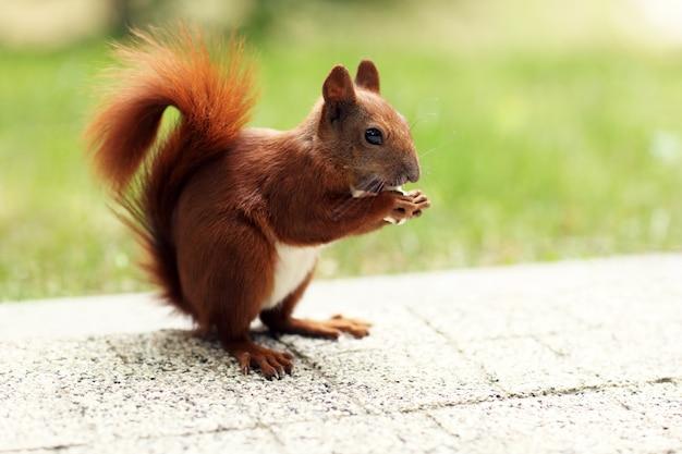 Esquilo comendo no verão no parque