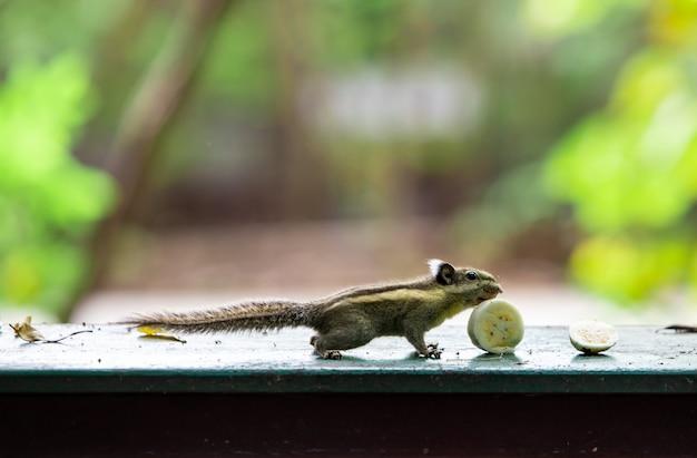 Esquilo, comer, bananas