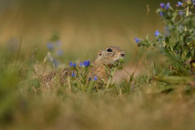 Esquilo comum em prado florescendo europeu suslik spermophilus citellus
