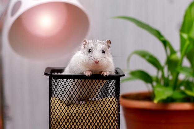 Esquilo de rato de hamster