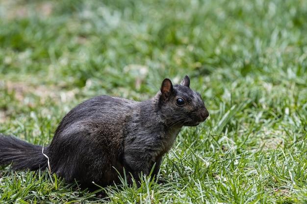 Esquilo em pé no campo coberto de grama
