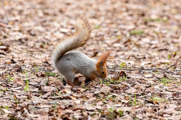 Esquilo engraçado cauteloso procurando comida na floresta