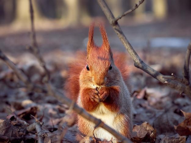 Esquilo europeu curioso.