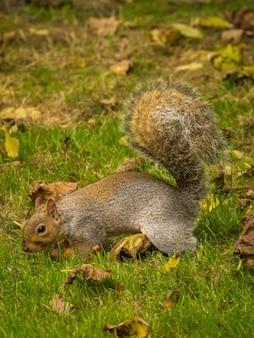 Esquilo fofo brincando com folhas secas de bordo em um parque durante o dia