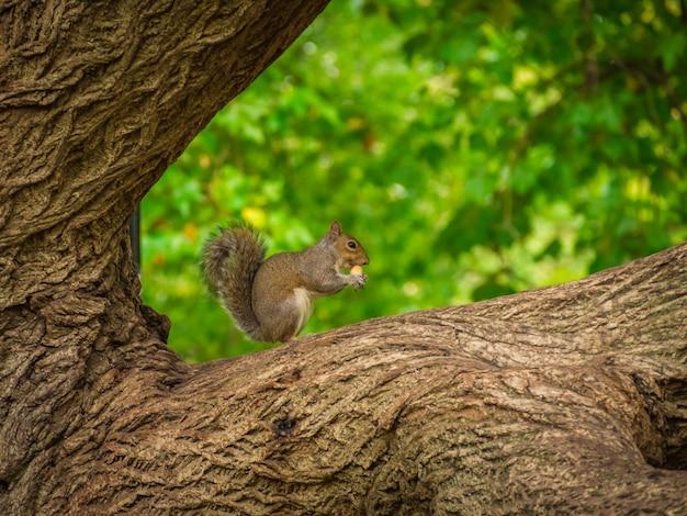 Esquilo fofo comendo avelã em uma árvore com um fundo desfocado