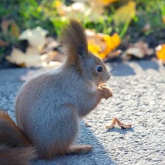 Esquilo fofo sentado na estrada no parque Foto Premium
