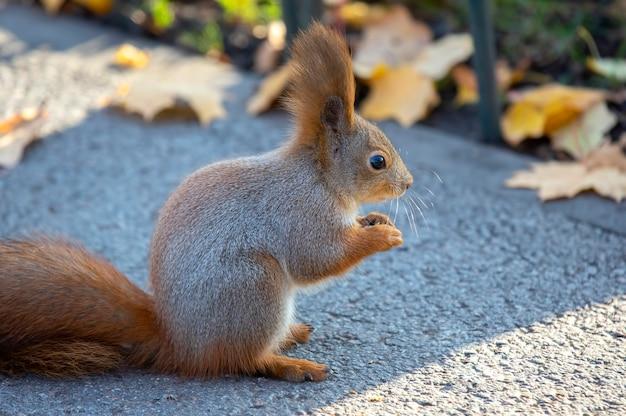Esquilo fofo sentado na estrada no parque