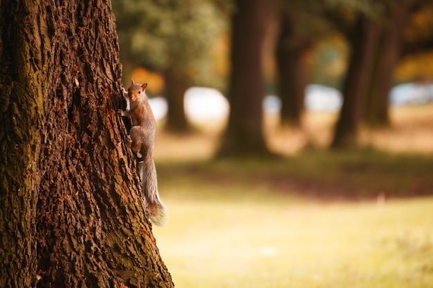 Esquilo irlandês vermelho em uma árvore