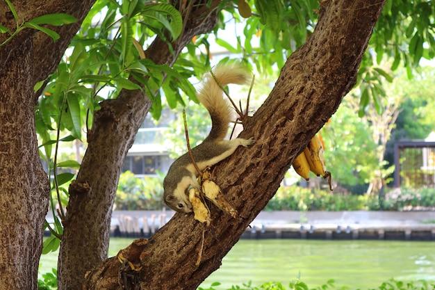 Esquilo marrom comendo bananas que algumas pessoas deixaram na árvore