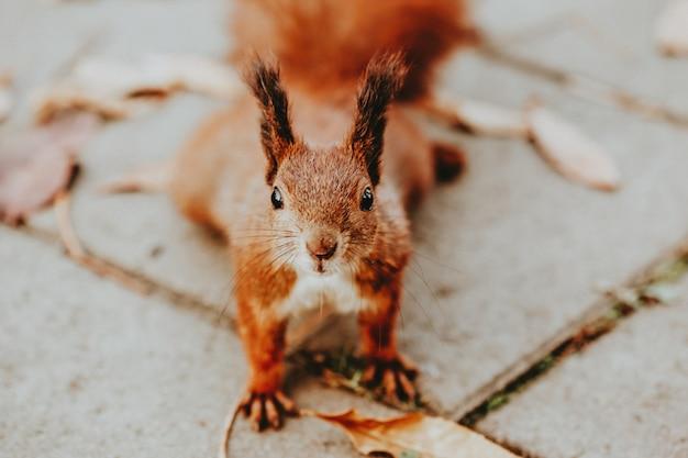 Esquilo na calçada do parque de outono