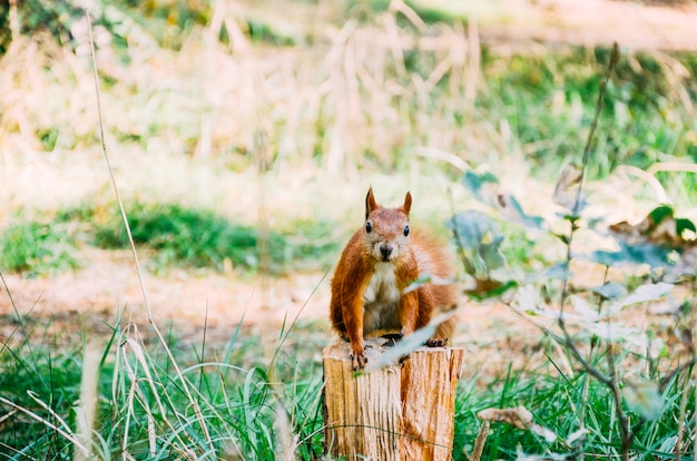Esquilo na floresta