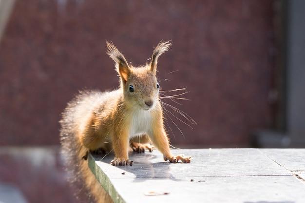 Esquilo na grama