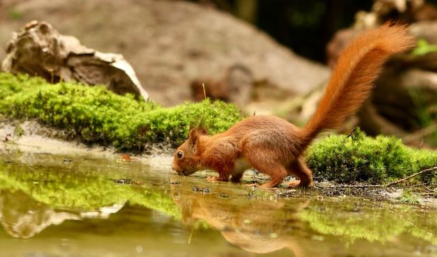 Esquilo na natureza