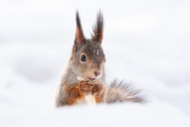 Esquilo neve inverno