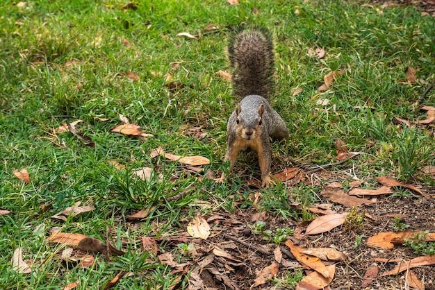 Esquilo no chão do parque olhando para a câmera