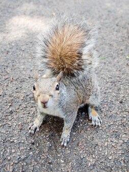 Esquilo, nome científico animalia chordata mammalia rodentia sciuromorpha sciuridae