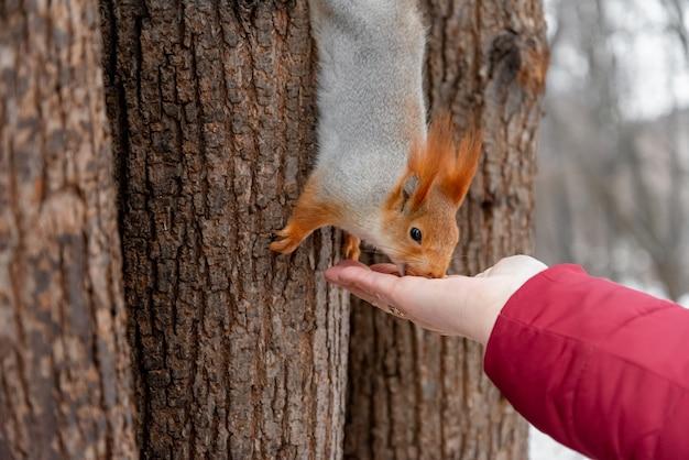 Esquilo pega uma noz da mão humana estendida. conceito amigável de animais.