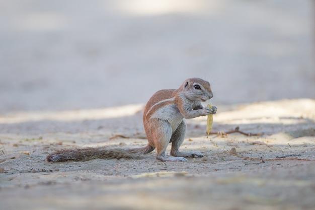 Esquilo pequeno bonito em pé no meio do chão coberto de areia