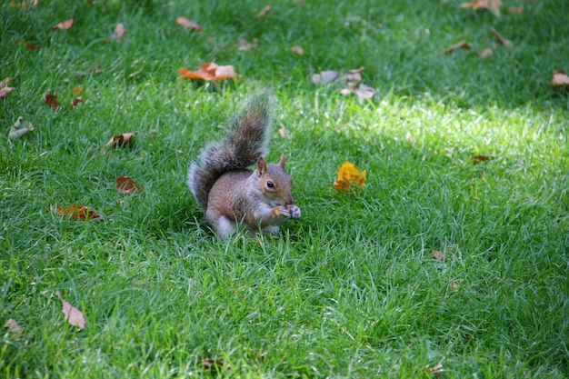 Esquilo segurando comida e comer