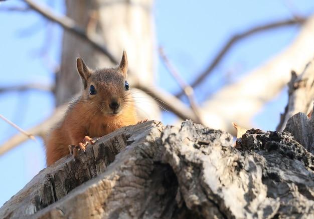 Esquilo selvagem em uma árvore