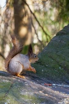 Esquilo senta-se ao sol em uma pedra e come uma noz.