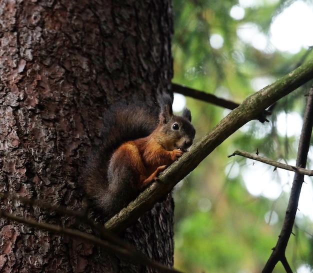Esquilo senta-se em uma árvore e come nozes