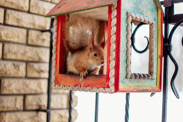Esquilo senta-se em uma calha de alimentação e come nozes. esquilo em uma casa no inverno no jardim botânico.