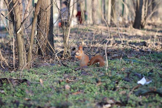 Esquilo sentado e roendo algo em um prado ensolarado