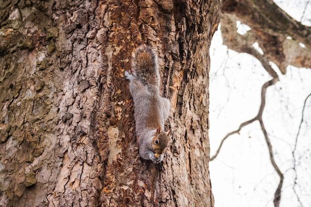 Esquilo subindo em uma árvore em uma floresta europeia