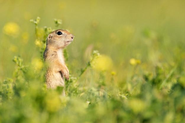 Esquilo-terrestre engraçado spermophilus pygmaeus parado na grama
