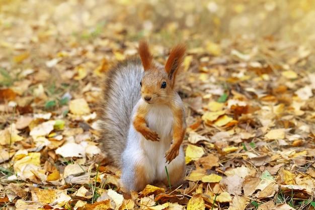 Esquilo vermelho, animal pequeno da floresta, close-up.