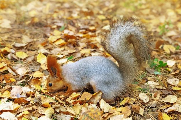 Esquilo-vermelho cheirando, procurando comida escondida