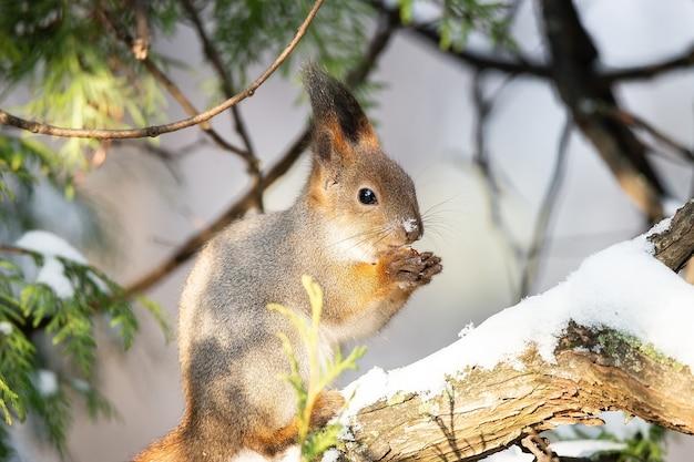 Esquilo vermelho eurasiático fofo e engraçado sentado em um galho de árvore na neve do inverno