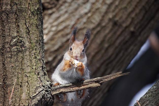 Esquilo vermelho eurasiático fofo e engraçado