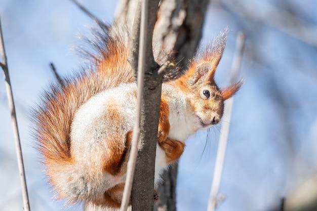 Esquilo vermelho eurasiático fofo engraçado