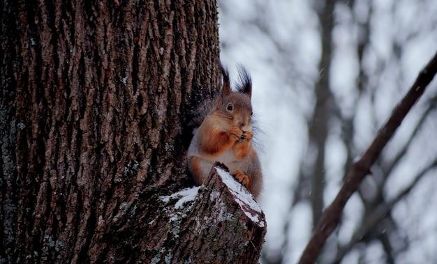 Esquilo vermelho fofo na árvore em cena de inverno, o esquilo come uma noz