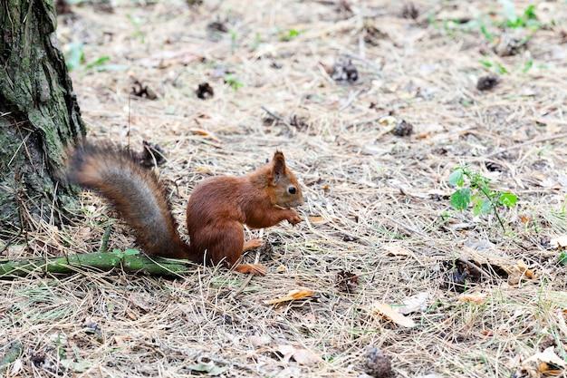 Esquilo-vermelho fotografado de perto na floresta