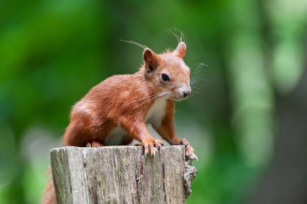 Esquilo-vermelho no cimo de um toco de árvore com um fundo verde.