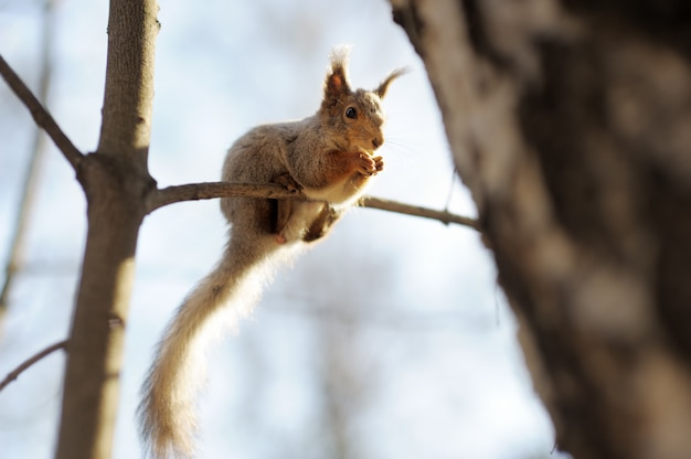 Esquilo-vermelho sentado na árvore