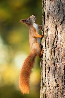 Esquilo-vermelho subindo um pinheiro na luz solar com natureza turva verde