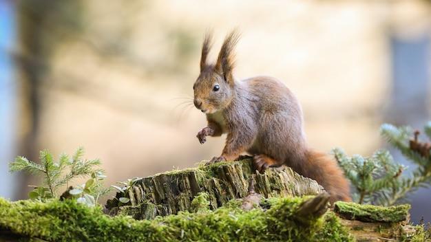 Esquilo-vermelho surpreso, esticando a mão para a frente na floresta com pequena árvore de abeto