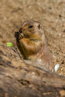 Esquilos à terra comendo algo