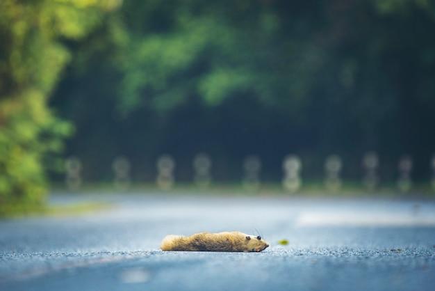 Esquilos morrem na estrada no parque nacional de khao yai, tailândia