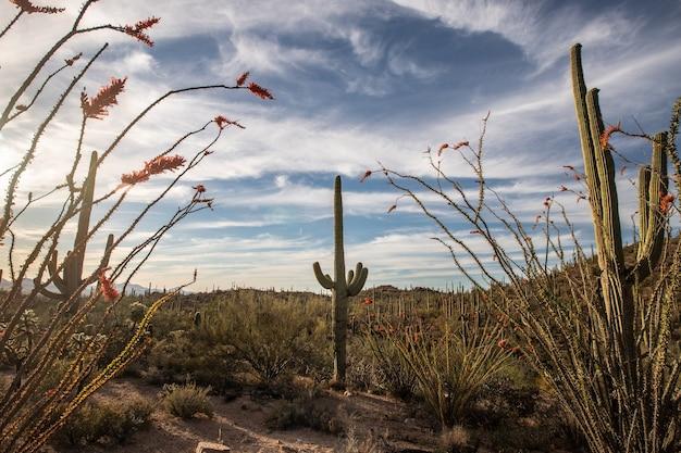 Esta é a foto de saguaros e o pôr do sol no parque nacional saguaro, arizona, eua