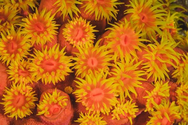 Esta é uma colônia de zoanthids brilhantemente coloridos encrusting on ar