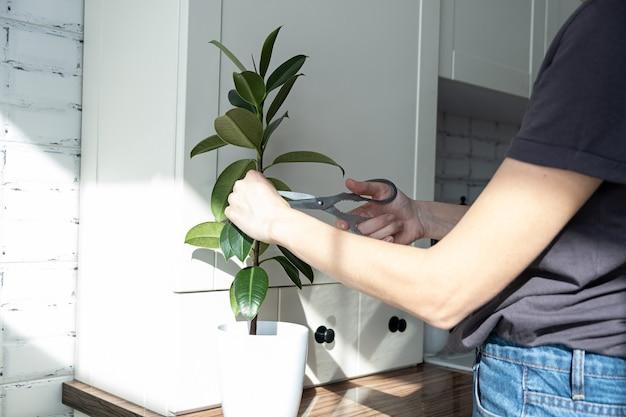 Estacas de ficus. criação de vasos de plantas. ficus elastica.