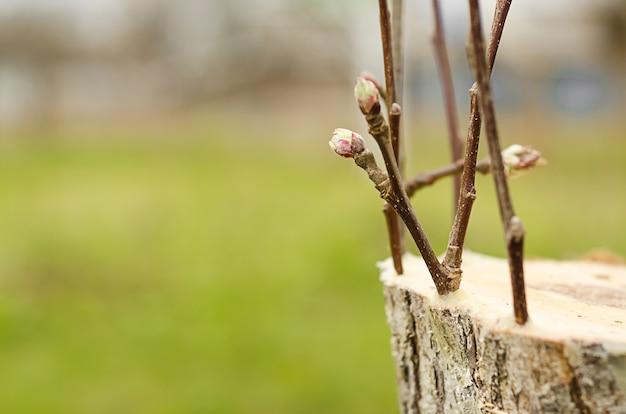 Estacas vivas em enxerto de macieira em fenda com botões em crescimento, folhas jovens na primavera.
