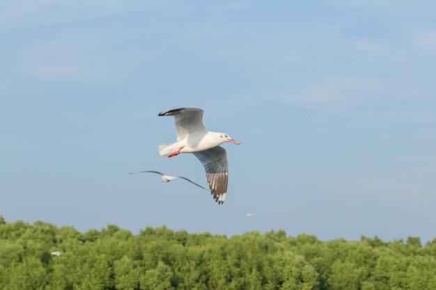 Estações de gaivota estrangeira voando para a tailândia, a beleza da gaivota está voando no