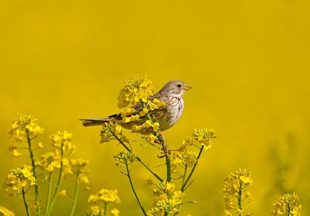 Estamenha de milho (emberiza calandra) em plumagem reprodutora filmada nos galhos de colza em flor